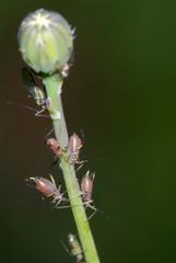 blattlaus, blattläuse, aphidoidea