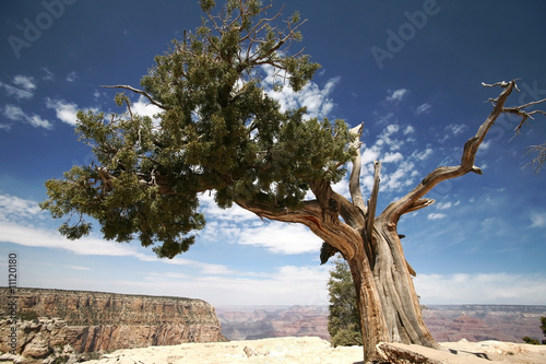 tree in Grand Canyon, Arizona, USA