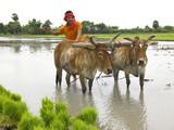 Fototapety farmer working in his paddy field