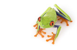 Red-eyed Tree Frog (Agalychnis callidryas) poster