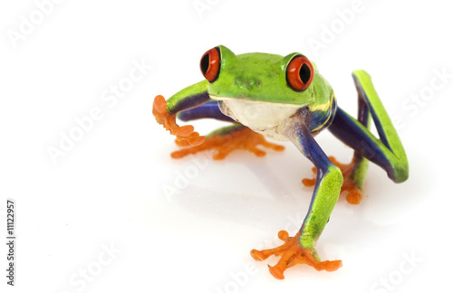 Poster Kikker Red-eyed Tree Frog (Agalychnis callidryas)