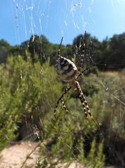 Argiope Lobata araña mediterranea
