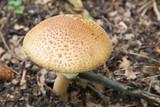 Amanita muscaria fungi cap poster