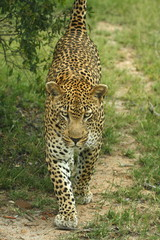 Leopard scent marking