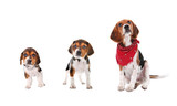 Beagle puppy growth stages poster