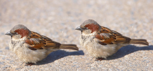 A telephoto of small sparrows