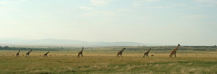 Giraffe (Giraffa camelopardalis), Masai Mara Game Reserve, Kenya