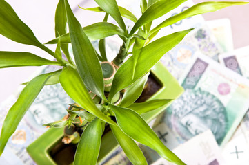 Lucky bamboo on money's background.