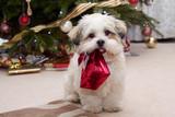 Lhasa apso puppy at Christmas - Fine Art prints