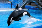 Jumping killer whale poster
