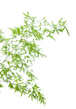 Young bamboo leaves on thin twigs isolated on white poster