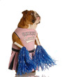 english bulldog dressed up as cheerleader with pompoms