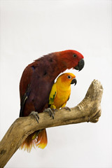 two beautiful parrots sitting on a branch