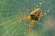 Spinnennetz, Spinne - 11204943