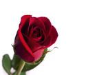 Red rose set against white background