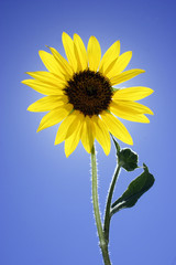 Single Sunflower Isolated Against Blue Sky