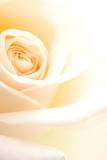 creamy rose - 11213198