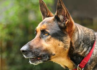 Alert German Shepherd