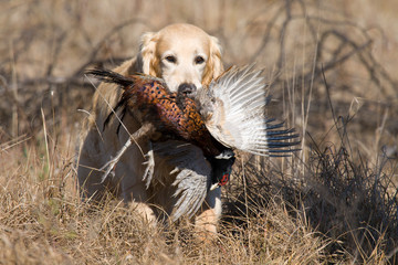 Golden Retriever with pheasant competing in field trials
