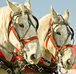 Matched team of draft horses in harness