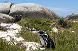 jackass penguin at The boulders beach poster
