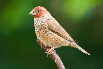 Red-headed Finch adult male perched on twig