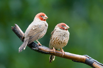Pair of male adult Red-Headed Finches