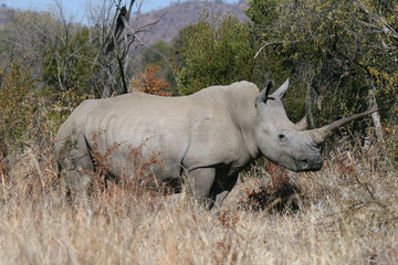 Rhino white in African bush