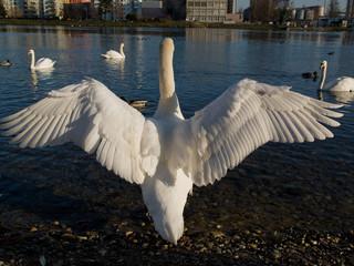 Cygne aux ailes déployées
