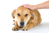 puppy dog enjoys being stroked, isolated poster