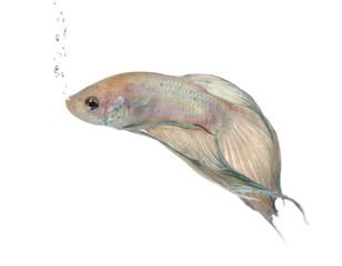 Siamese fighting fish - Betta Splendens