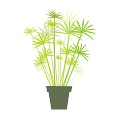 papyrus en pot