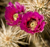 Blossoms on a cholla cactus in Arizona