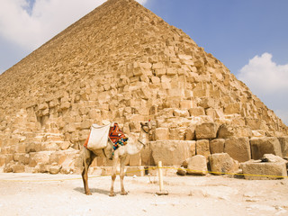 Dromedary-camel in front of the Pyramid of Cheops