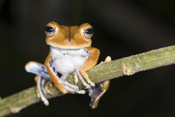 Hyla calcarata frog from ecuador
