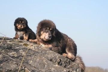 la maman dogue du tibet avec son chiot grimpés sur un rocher