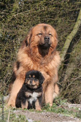 dogue du tibet adulte et son chiot assis tranquillement