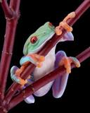 Tree frog falling asleep poster
