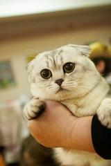 Cat from Shrek, Britain 2