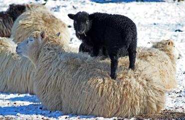 Schaf, schwarzes Schaf, Junges