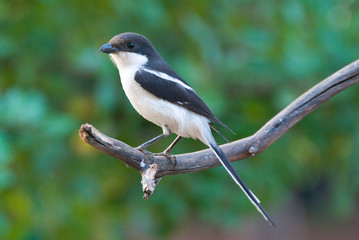 Common Fiscal Shrike adult male