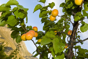 Apricots in an orchard ready for harvesting.