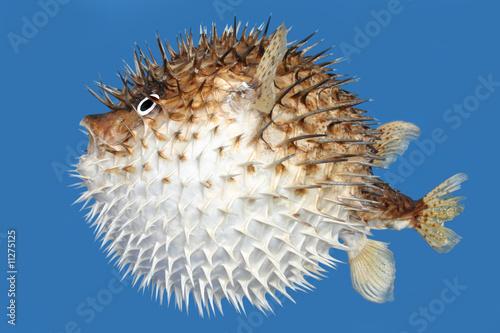 Fugu Blow Fish Tokkuri