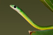 Eastern green snake (Philothamnus natalensis), South Africa