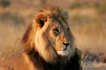 Male African lion (Panthera leo), Kalahari desert, South Africa