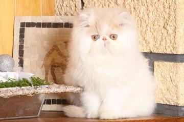 jeune chat persan dans cadre intime
