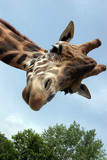 Fototapety Giraffa