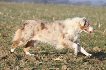 berger australien en course dans un champ