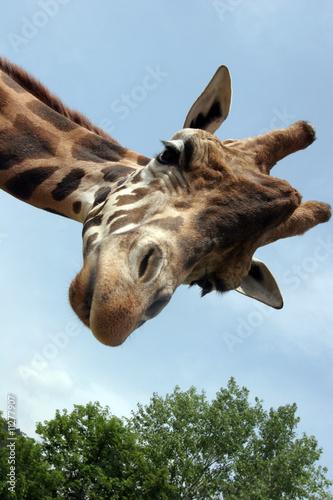 Fotobehang Giraffe Giraffa