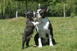chiot boston terrier embrassant sa maman